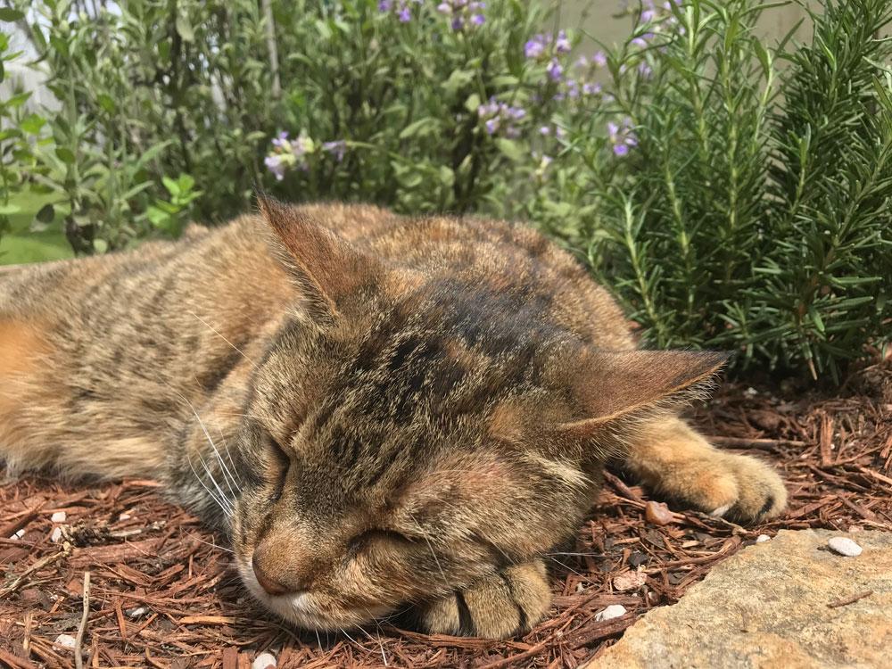 a brown tabby cat sleeps in a sunny garden.