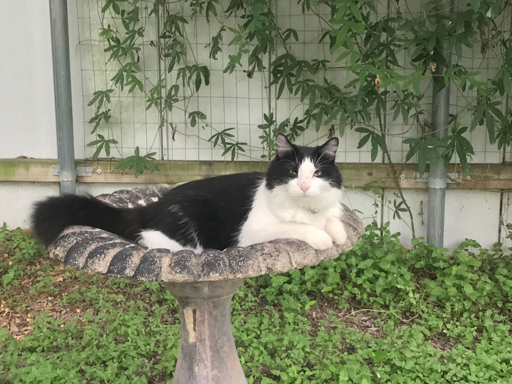 a fluffy black and white cat is lying in a bird bath looking at the camera.