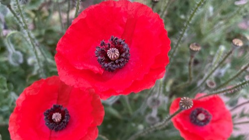 a close up of three red poppy flowers